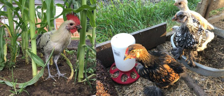 Sunny Side Up: Building Community Through Food and Friendly Fowls